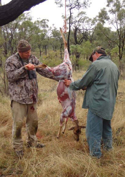 Aussiehunter field dressing a chital deer
