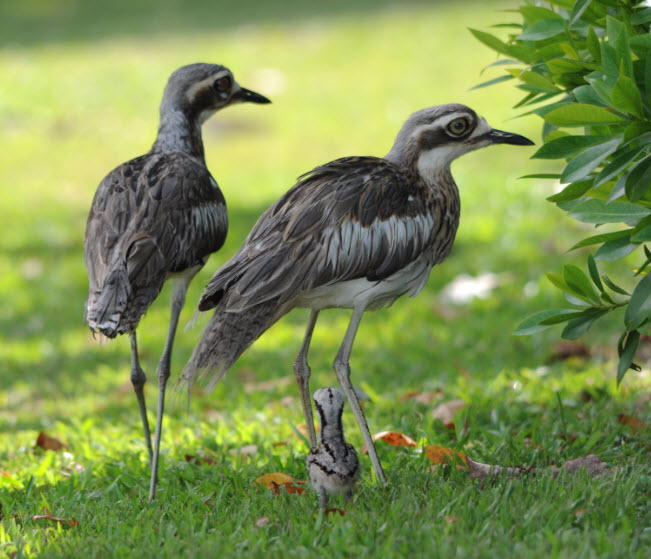 aussiehunter curlews and chick