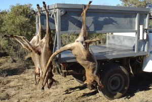 Aussiehunter roo shooters rig with roos hanging on rack
