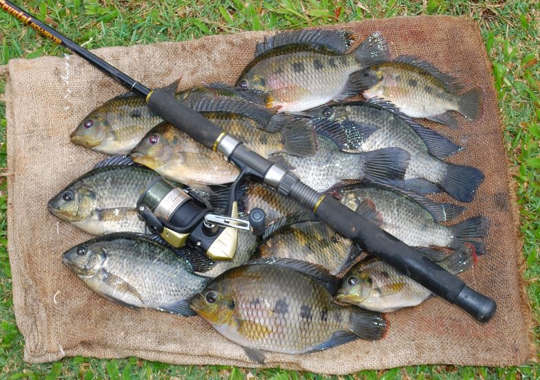 Tilapia Threaten State Fisheries