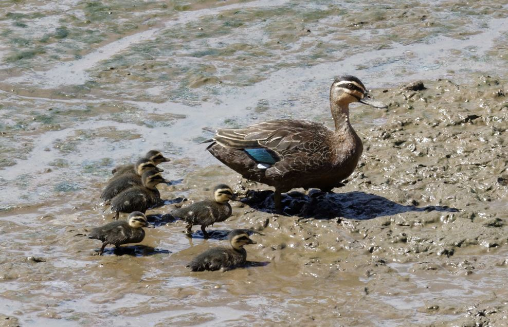 black duck with babies