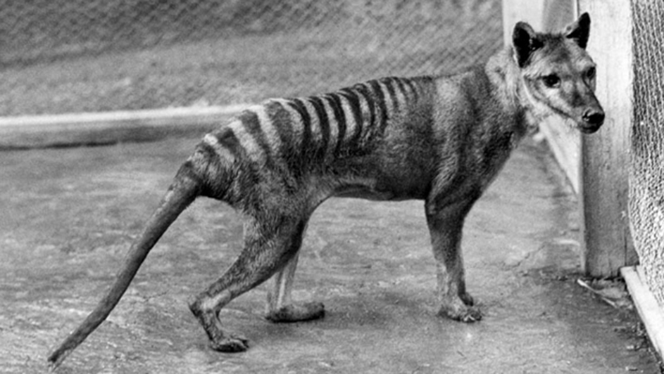 Thylacine the Tasmanian Tiger