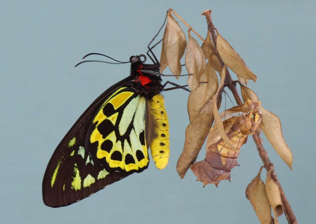 An emergent Cairns Birdwing Butterfly and the suspended cocoon it came from