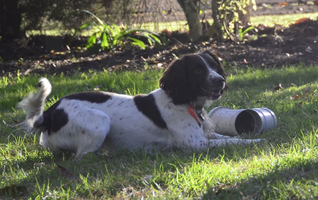 A Steve Austin trained detector dog showing its prowess in training