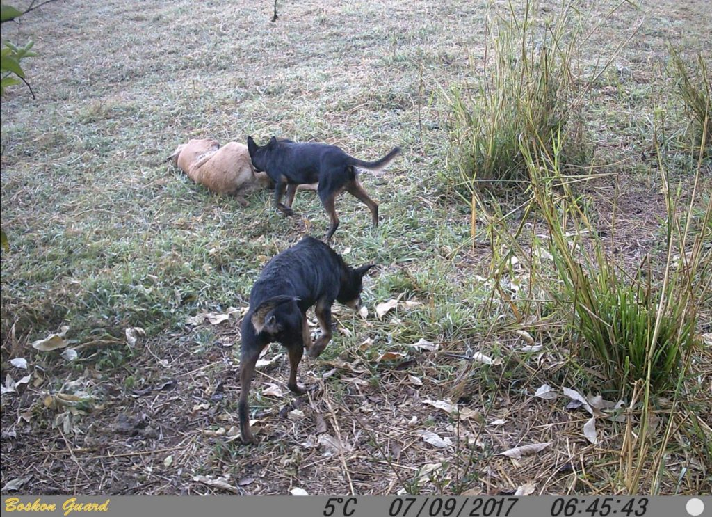 A pair of wild dogs visit a calf carcass