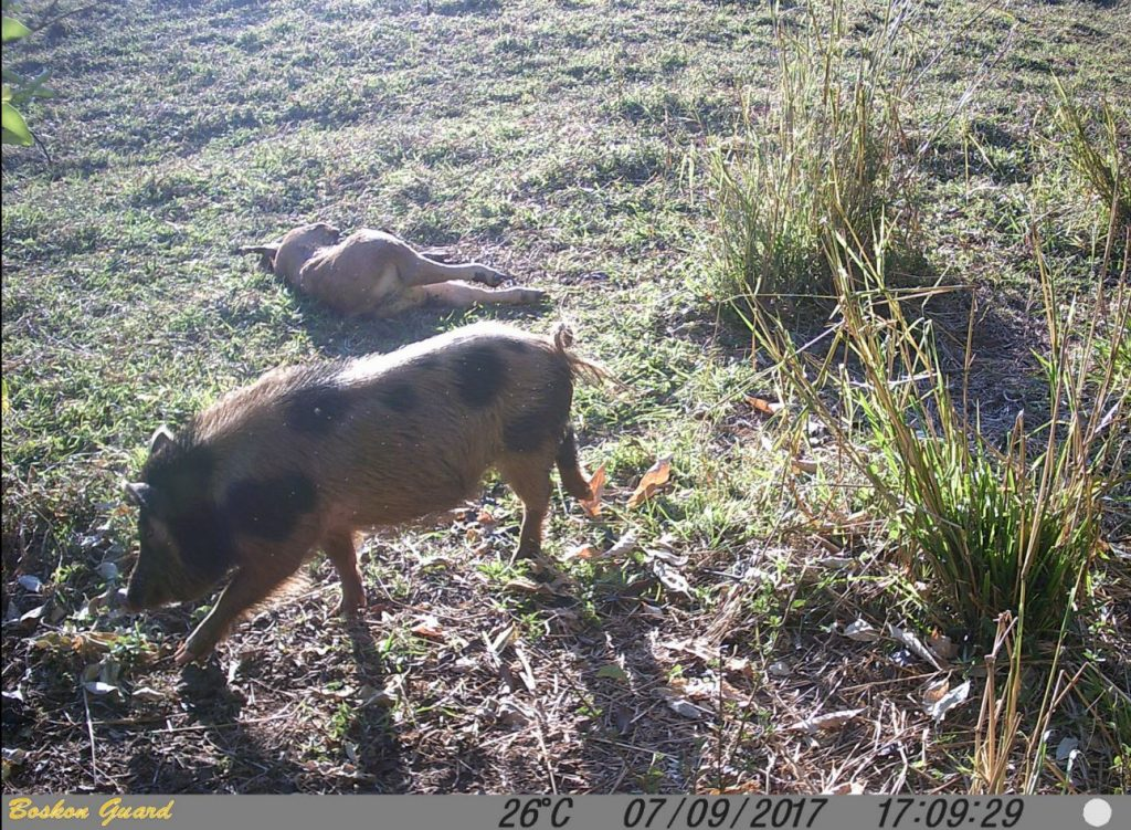 wild boar sniffs about a dead calf