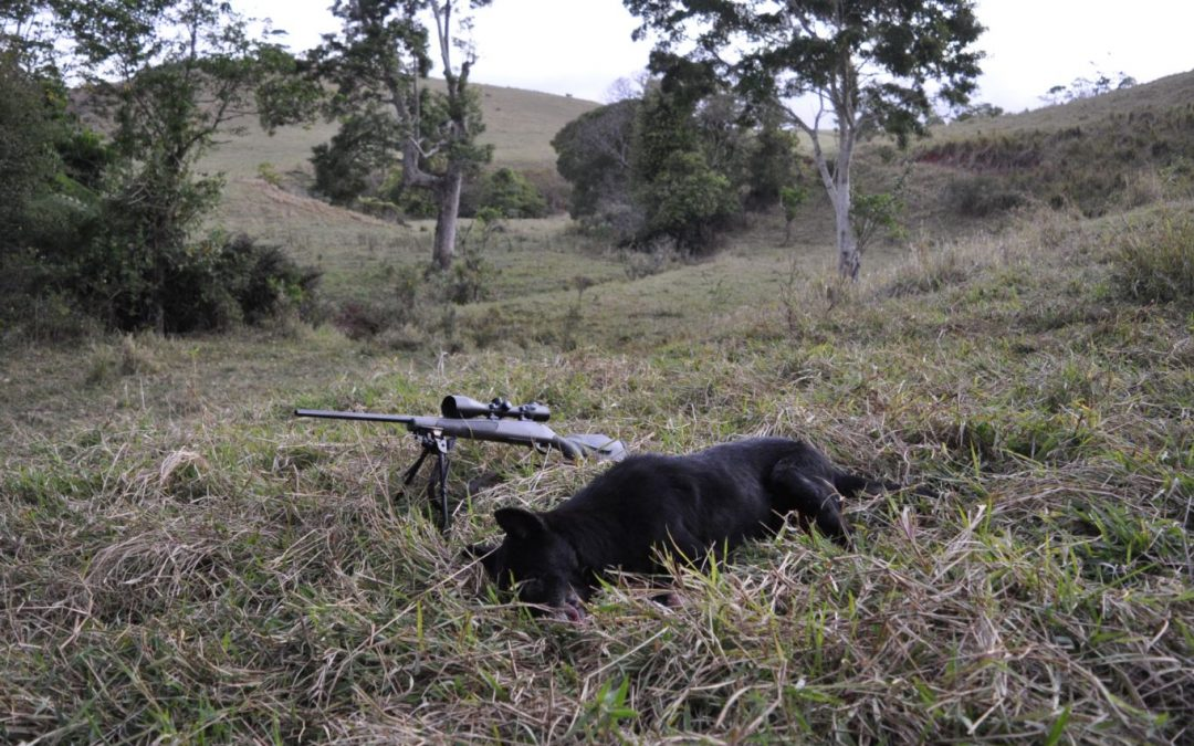 A large black wild dog that had been attacking calves