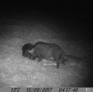 A large feral sow sniffs about the carrion