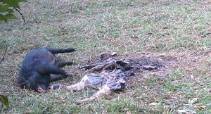 a dead wild boar lies beside the remains of a calf
