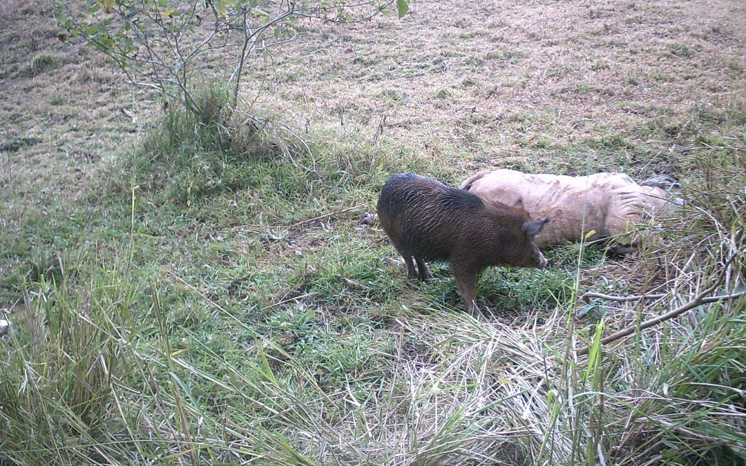 Feral Pigs on Trail Camera feeding on carrion